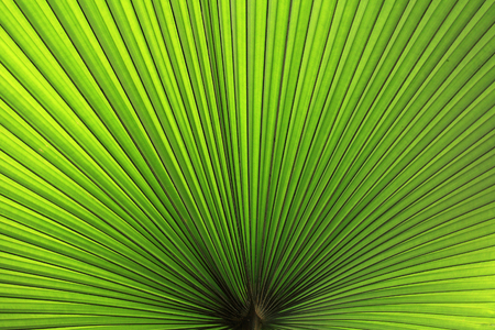 Photo pour Texture of Green palm Leaf - image libre de droit