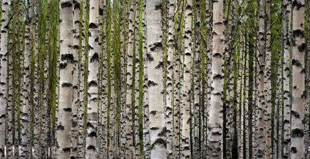 Grove of birch trees with green leaves in spring mural