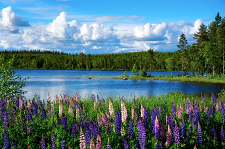 Beautiful Scandinavian summer landscape with lupies and lake
