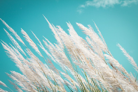 Photo for abstract softness white Feather Grass with retro sky blue background and space - Royalty Free Image