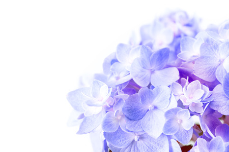 Photo for the sweet   purple blue  hydrangea flowers on a white background , selective focus - Royalty Free Image