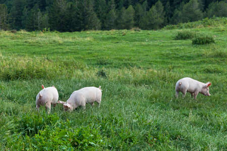 pigs on a spring green grass