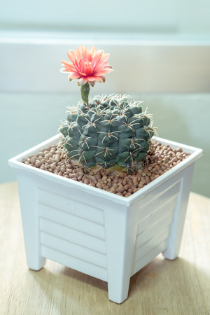 Flower of Cactus  Gymnocalycium  in white pot or houseplant, vintage color tone  in white pot or houseplant, vintage color tone