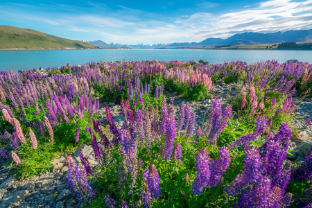 Photo for Landscape at Lake Tekapo and Lupin Field in New Zealand. Lupin flower at lake Tekapo hit full bloom in December, summer season of New Zealand. - Royalty Free Image