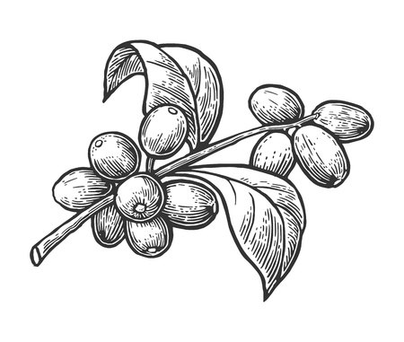 Ilustración de Coffee branch with leaf and berry. Hand drawn vector vintage engraving illustration  on white background. - Imagen libre de derechos