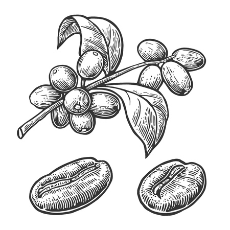 Illustration pour Coffee bean, branch with leaf and berry. Hand drawn vector vintage engraving illustration  on white background. - image libre de droit