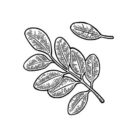 Ilustración de Acacia leaf. Vector vintage engraved illustration. - Imagen libre de derechos