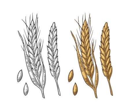 Illustration for Ear of wheat, barley and grain malt. Vector vintage engraved illustration. - Royalty Free Image