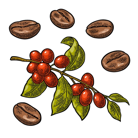 Illustration for Coffee bean, branch with leaf and berry. Hand drawn vector vintage engraving color illustration on white background. - Royalty Free Image