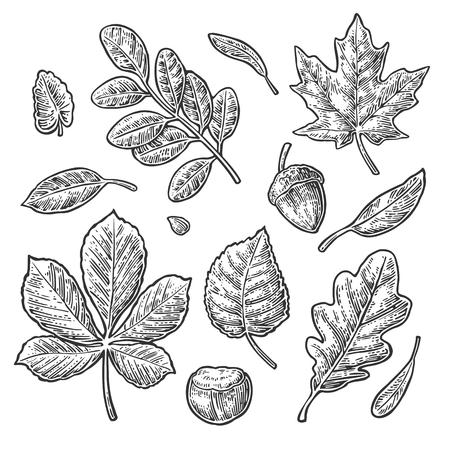 Illustration pour Set leaf, acorn, chestnut and seed. Vector vintage black engraved illustration. Isolated on white background - image libre de droit