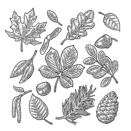 Illustration pour Set leaf, acorn, chestnut and seed. Vector vintage engraved illustration. - image libre de droit