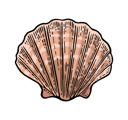 Illustration pour Sea shell Scallop. Color engraving vintage illustration. Isolated on white background. - image libre de droit