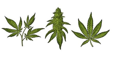 Ilustración de Marijuana mature plant with leaves and buds cannabis. Hand drawn design element. Vintage color vector engraving illustration for label, poster, web. Isolated on white background - Imagen libre de derechos
