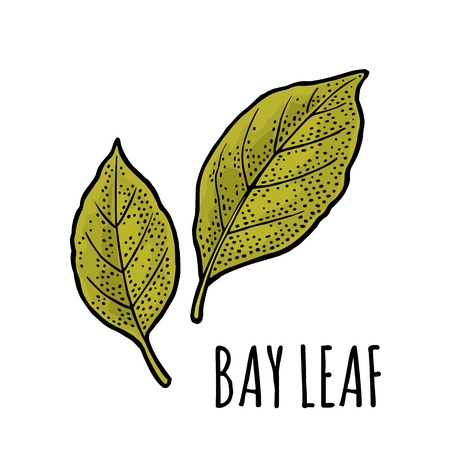 Illustration pour Two bay leaves. Engraving vintage vector black illustration. Isolated on white background. - image libre de droit