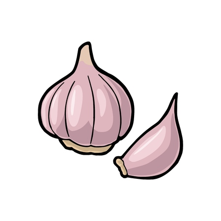 Illustration for Garlic whole head and clove. Vector color vintage engraving Illustration. Isolated on white background. Hand drawn design element for label, menu and poster. - Royalty Free Image