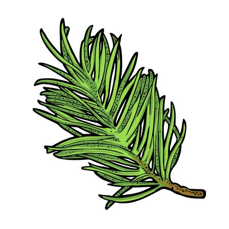 Illustration for Branch of fir tree. Vector vintage color engraving illustration. - Royalty Free Image