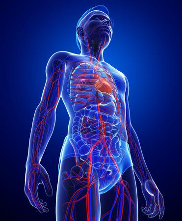 Foto de Illustration of Male circulatory system - Imagen libre de derechos