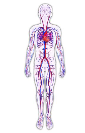 Foto für Illustration of Male circulatory system - Lizenzfreies Bild