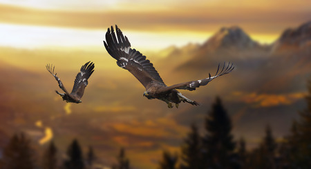 Photo pour Golden Eagles in the alps - image libre de droit