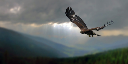 Photo for Golden Eagle - Royalty Free Image