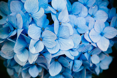 Photo for Beautiful close up shot of blue hydrangea flower texture - Royalty Free Image