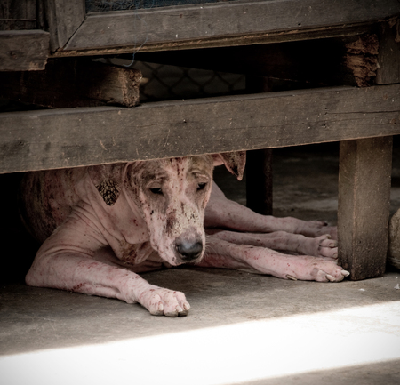Foto für Leprosy asian dog, animal sick leprosy skin problem, Homeless sick street dog, Rabies infection risk on abandoned mixed-breed dog in Thailand - Lizenzfreies Bild