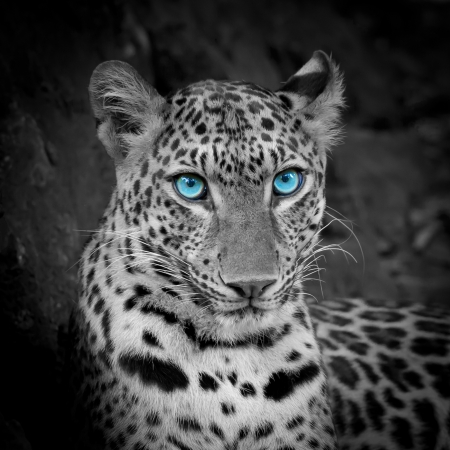 Photo for white tiger - Royalty Free Image