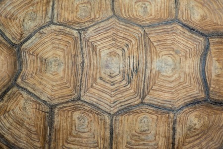 Photo for Texture of Sulcata Tortoise carapace - Royalty Free Image