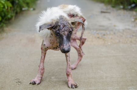 Scabies dog white fur feeling pain outdoor