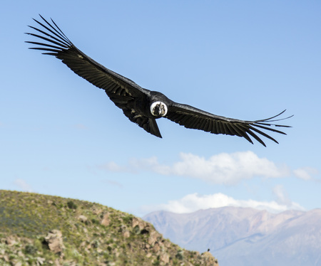 Photo for Andean condor in the peruvian mountains - Royalty Free Image