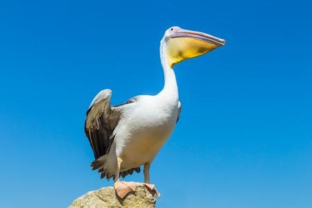 Foto de Great white pelican on the field against the blue sky. - Imagen libre de derechos