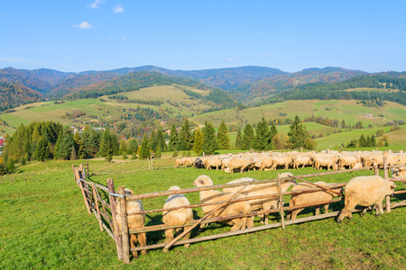 Photo for Mountain sheep in holding pen on sunny day, Pieniny Mountains, Poland - Royalty Free Image