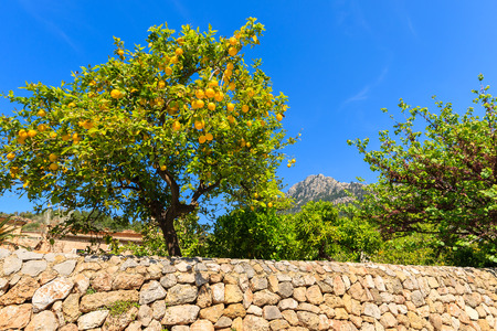 Photo for Lemon tree in spring in Deia village, Majorca island, Spain - Royalty Free Image