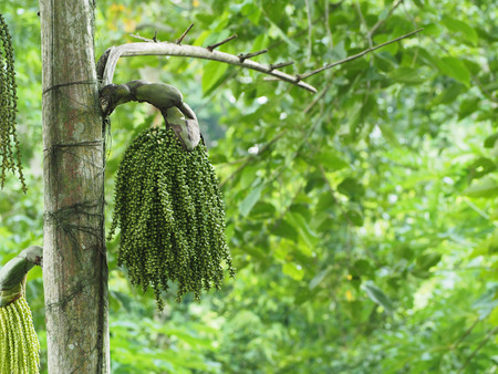 Foto de Madagascar palm - Imagen libre de derechos