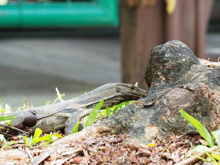 Photo for voranus in garden seeking something to eat - Royalty Free Image