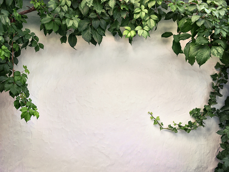Photo for climbing plant on the white plaster walls - Royalty Free Image