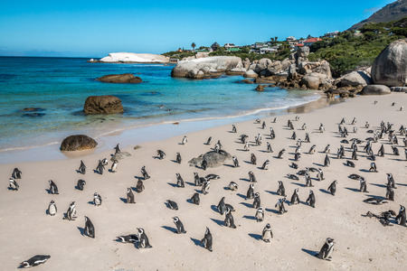 Photo pour Pinguins in Cape Town South Africa - image libre de droit