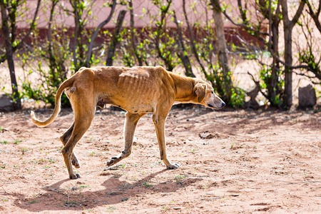 Photo pour starving dog wounded and infested with fleas and ticks, animal cruelty - image libre de droit