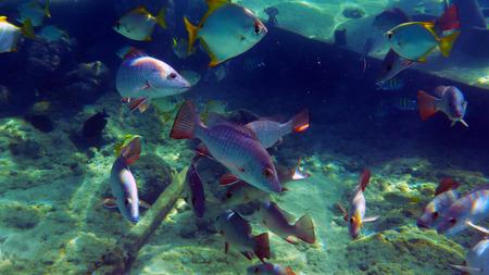 Foto de Mangrove red snappers grouping near wreck - Imagen libre de derechos