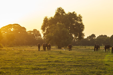 Photo pour Arabian horses grazing herd on pasture at sundown in orange sunny beams. Dramatic foggy scene - image libre de droit