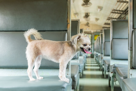 Foto per Dog so cute beige color mixed breed with Shih-Tzu, Pomeranian and Poodle on car seat inside a railway train cabin vintage style wait for vacation travel trip - Immagine Royalty Free