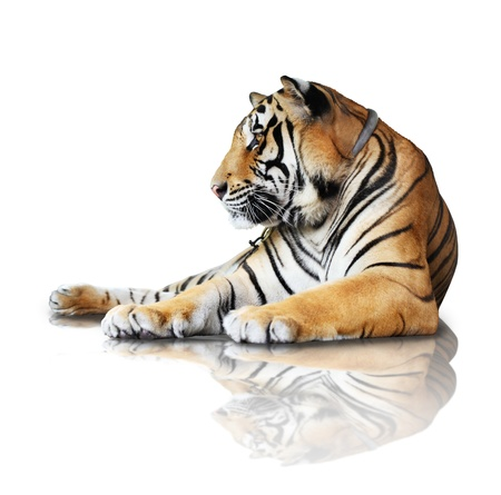tiger- isolated on white background with reflection, a shadow