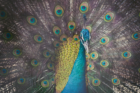 Close up of male peacock showing beautiful expanded feather vintage tone with vignetting.