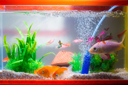 Foto de Little fish in fish tank or aquarium, gold fish, guppy and red fish, fancy carp with green plant, underwater life concept. - Imagen libre de derechos