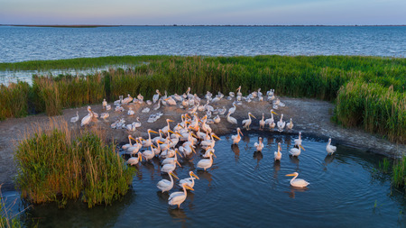 Photo pour white pelicans (pelecanus onocrotalus) in Danube Delta Romania. Aerial view with drone. - image libre de droit