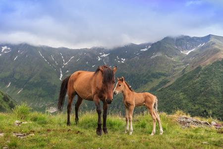 Photo pour horses grazing in the mountain valley. Fagaras Mountain, Romania - image libre de droit