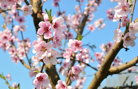 Photo for Apricot blossom in Wachau Austria along the Danube river - Royalty Free Image
