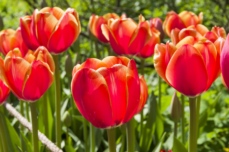 Photo pour Beautiful bright red tulips in the flowerbed. Sunny day in May. - image libre de droit