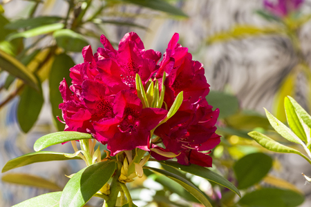 Photo pour Blooming rhododendron of the Henry's Red species. - image libre de droit
