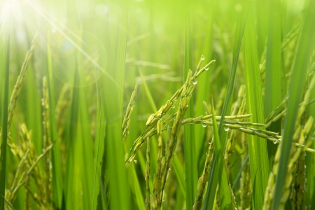 Photo for Rice field in the morning - Royalty Free Image